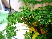 キアゲハ(蝶)の幼虫…2匹元気に育ってます♪