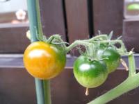わが家のミニトマト