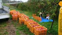 リンゴの樹オーナー制度 今日は収穫日!!