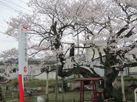 【放送】4月1日(水)Eテレに朝日町(伊豆権現の種まき桜)登場!