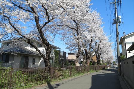 文化町の桜並木