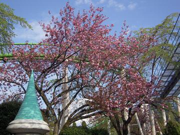 八重桜が見ごろ