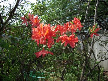 山ツツジの赤い花