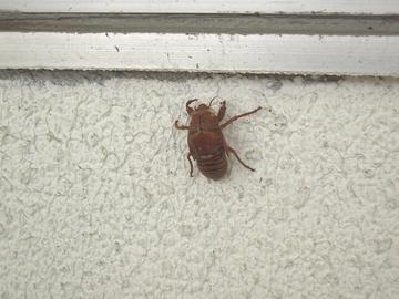 窓際にセミの抜け殻