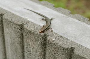 カナヘビくん