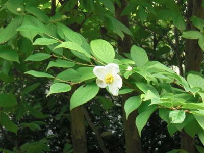 白い花「夏ツバキ」。