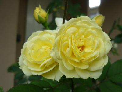 前世の記憶 ~黄色い薔薇~