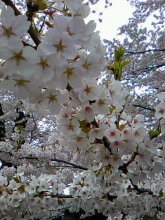 今年最初で最後の桜