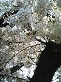 懸賞当たり!&満開の桜☆