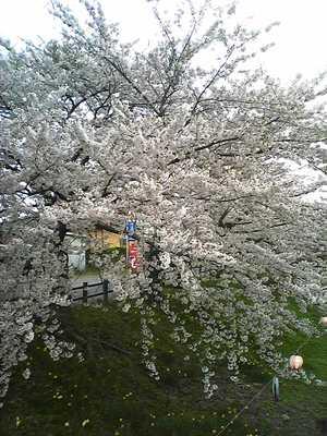 桜満開o(^-^)o