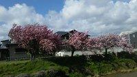 八重桜(o^-^o)