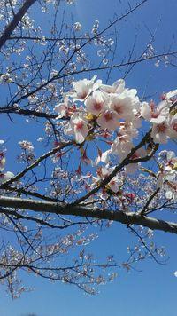 桜も散り際(^_^ゞ