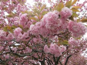 八重桜(^_^)