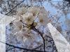 桜~sakura~
