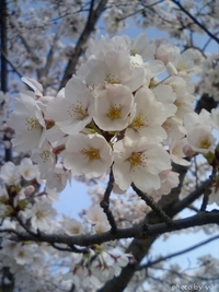 桜~sakura~(3)