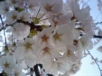 桜~sakura~(2)