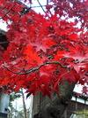 紅葉見物。