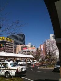 桜散歩〜仙台駅東口