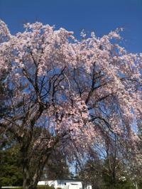 桜散歩〜榴ヶ岡公園