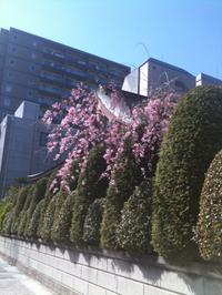 桜散歩〜見瑞寺