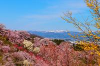 花見山。 2014/04/21 07:10:00