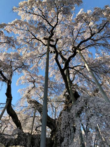 ☆三春滝桜☆