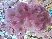 桜からの桜