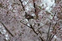 春を飛び立とう/桜とスズメ