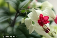 my little garden ゲンペイカズラ(源平葛)