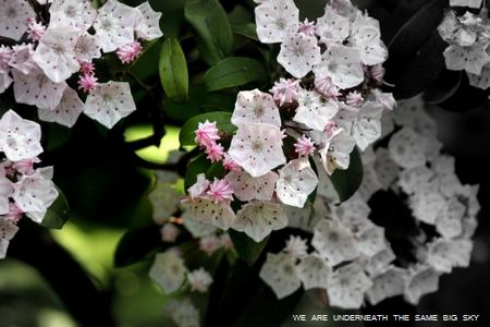 my little garden Kalmia