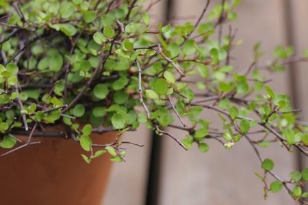 my little garden ワイヤープランツの花