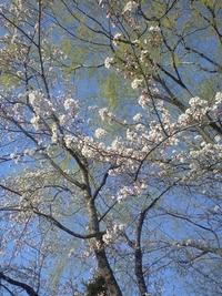 富沢公園の桜です