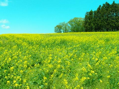 五月風吹く菜の花畑で。