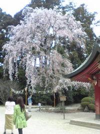 桜 花見は最高!