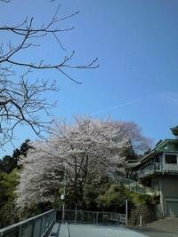 仙台市向山の桜