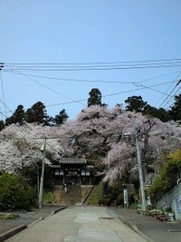 太白区 大年寺の桜