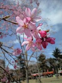 桜情報 仙台西公園
