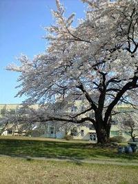 桜情報 東北大片平キャンパス