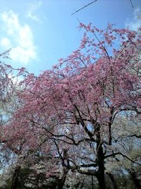 桜情報 東北大片平キャンパスⅡ