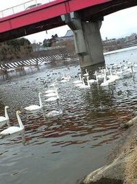広瀬川と白鳥