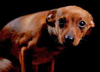 犬の「ごめんなさい」の表情は、ごめんなさいではない!?