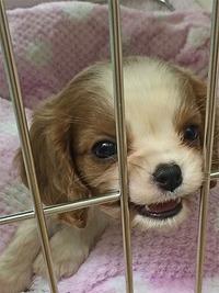 キャバリアの仔犬