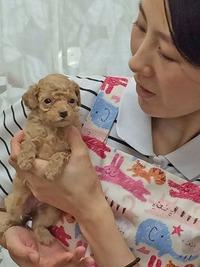 トイプードル 女の子 アプリコット 体重380g 7月8日生入舎