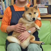 柴犬値下げ 12万円
