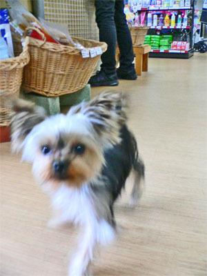 仔犬ヨークシャ・テリア、、生後7ヶ月なのに体重1.2kgの小ぶりさ