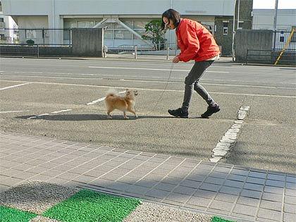 ポメ子のお散歩練習