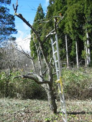栗の木&柿の木も枝を切ってあげました。