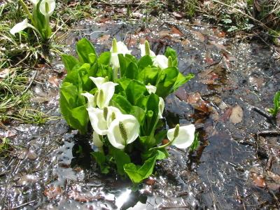 今年も泉ヶ岳に遅い春がやってきました。