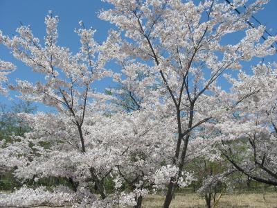 今日は泉が岳の桜を楽しみました。