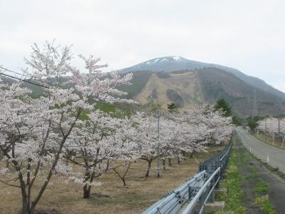 今日は泉ヶ岳の桜を楽しみましたよ。